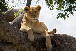 Female Lion resting on a branch in a tree watching the surroundings.