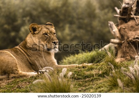 Female Lioness Resting