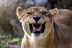 Female lioness roaring open her mouth and showing her teeth and tongue, furious.