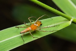 female lynx spider biting male lynx spider on green grass leaf