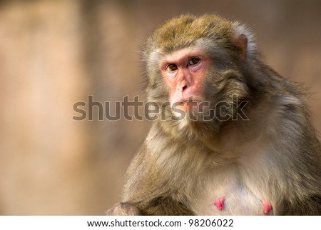 female macaque monkey portrait in Moscow zoo (selective focus)