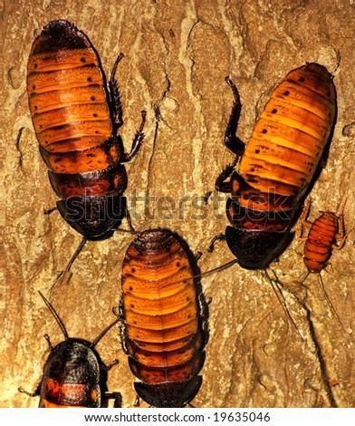 Female Madagascar Hissing Cockroaches (Gromphadorhina Portentosa) - stock photo