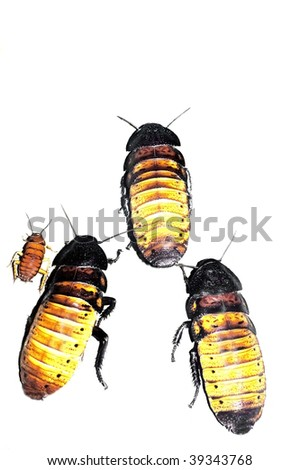 Female Madagascar Hissing Cockroaches (Gromphadorhina Portentosa) isolated on white