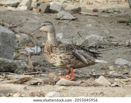 female mallard aka wild duck (scientific name Anas platyrhynchos) of animal class Aves (birds) Foto stock ©