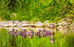Female mallard duck, anas platyrhynchos, and ducklings floating in a river in the forest