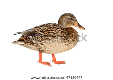 Female Mallard Duck isolated on white background.