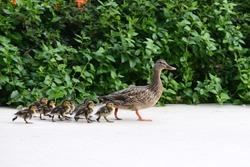 Female Mallard  Duck mother with babies