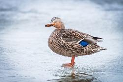 Female mallard duck on ice in winter time