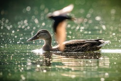 Female mallard duck swimming in front of a flying swallow
