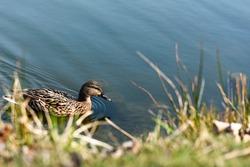 female mallard duck swimming on the pond