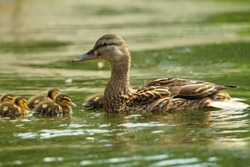 female mallard duck with ducklings swimming on lake surface ( Anas platyrhynchos )