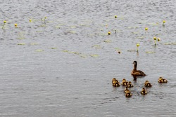 Female mallard duck with her twelve baby ducks swimming on a choppy river. The mallard is a large duck with a hefty body, rounded head, and wide, flat bill. The ducks are a soft yellow down feather.