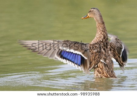female mallard flapping its wings after a shower