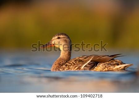 female Mallard swimming in lake, Anas platyrhynchos