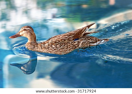 female mallard taking an early morning swim