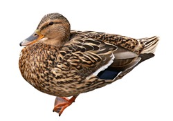 Female Mallard with clipping path, standing in front of isolated on white background