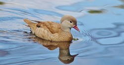 Female mandarin duck swimming on blue water.