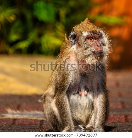 Female monkey showing her breasts. Strange look into turists near by. blur background with sharp face.