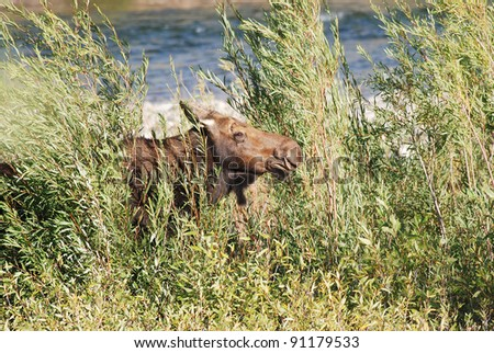 Female Moose partially hidden by willow trees on which she is grazing with Gros Ventre River in background.  Grand Teton National Park near Jackson Hole, Wyoming.