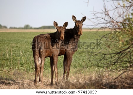 Female moose with male calf in Saskatchewan field - stock photo
