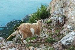 Female mountain goat on the top of the mountain Ilyas Kaya in the Crimea