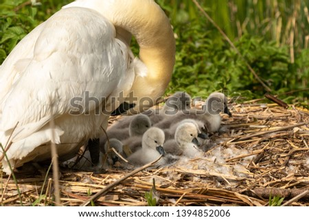 Female mute swan checks on her clutch of cygnets. They are all siting on the large nest