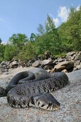 female Natrix Natrix in its natural habitat. Hill stream, Piedmont, Italy