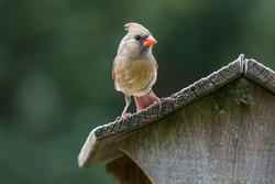 Female northern cardinal on a bird house roof