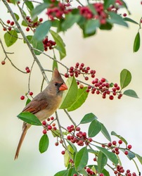 Female Northern Cardinal Perched on Branch of American Holly Tree Loaded with Holly Berries