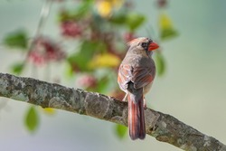 Female Northern Cardinal Perched on Branch of Holly Tree with Blur of Holly Berries and Holly Leaves in Background