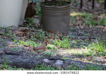 Female northern cardinal songbird bird feeding on ground in garden.