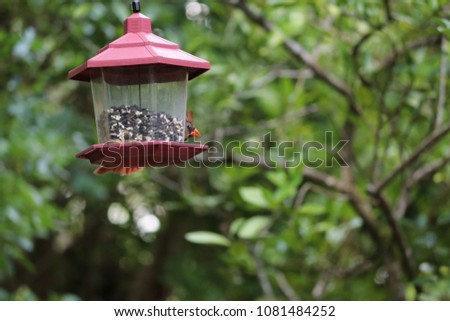 Female northern cardinal songbird bird perched feeding on feeder in garden.