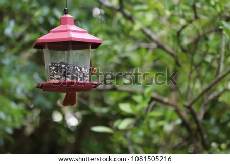 Female northern cardinal songbird bird perched feeding on feeder in garden.