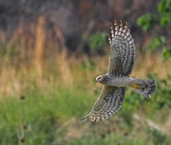 Female northern harrier (circus cyaneus) flying low over meadow, sideways view, underside of wings and tail showing, looking forward, blurred background