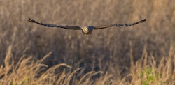 female northern harrier (Circus hudsonius) flying straight at camera over brown grassland, looking straight at camera, both wings extended outward