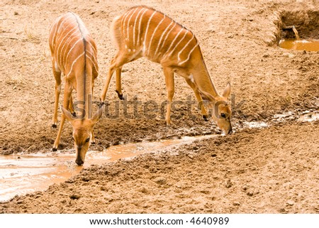 female nyala take advantage of a leaking pipe during a drought