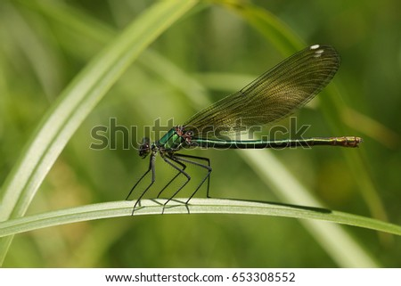 Female of a beautiful demoiselle sitting on a vegetation. A comon European dragonfly species on a close up picture.