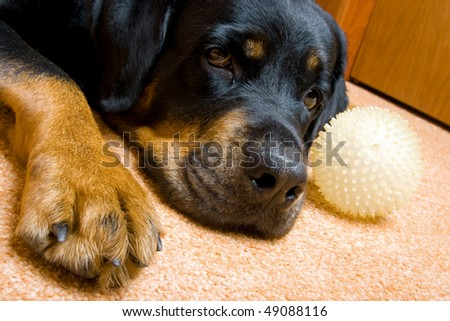 Female of a dog of breed a Rottweiler against snow. 7 years