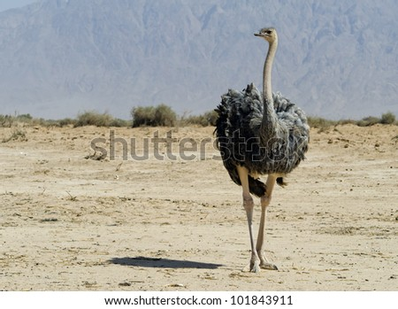 Female of African ostrich (Struthio camelus) in Hai Bar national reserve park, 25 km north of Eilat, Israel