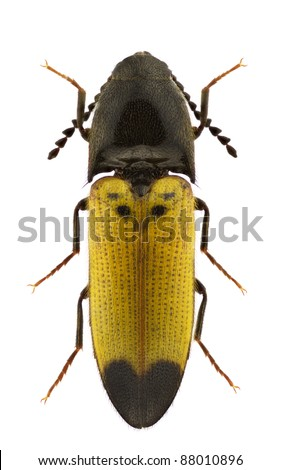 Female of Ampedus elegantulus, click-beetle, isolated on a white background