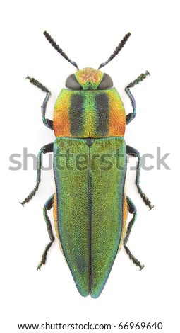 Female of Anthaxia hungarica (Jewel beetle) isolated on a white background.