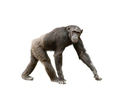 Female of ape chimpanzee looking at camera, walking over a white background