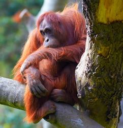 Female of Bornean Orangutan sitting on a branch at Dublin Zoo.