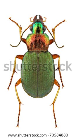 Female of Chlaenius kindermanni isolated on white background
