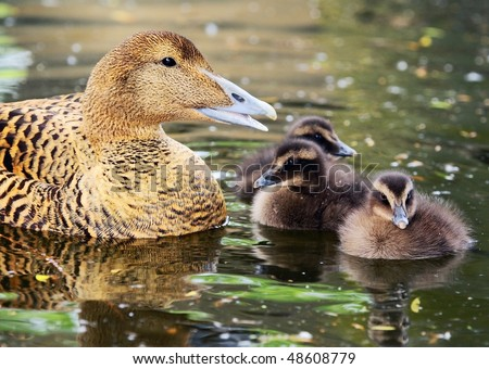 female of Common Eider with chickens - Somateria mollissima