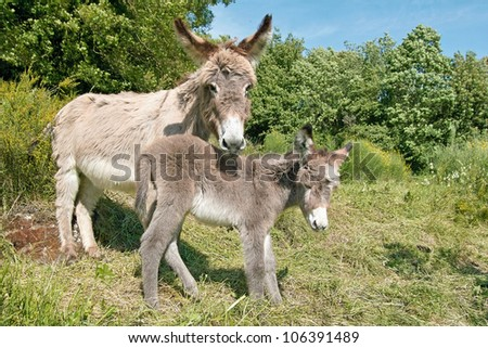 female of donkey (jenny) with it's foal