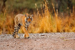 Female of Indian tiger with first rain, wild animal in the nature habitat, Ranthambore, India. Big cat, endangered animal. End of dry season, beginning monsoon.