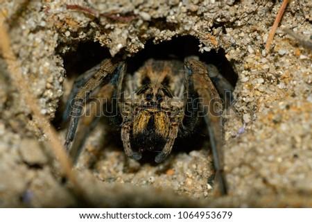 Female of Lycosa tarantula in her burrow. Picture taken in Spain. Foto stock ©
