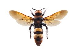 Female of mammoth wasp, Megascolia maculata isolated on white background