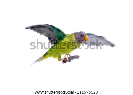 Female of plum-headed parakeet (Psittacula cyanocephala) isolated on white